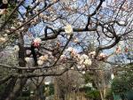 蘇峰公園の梅