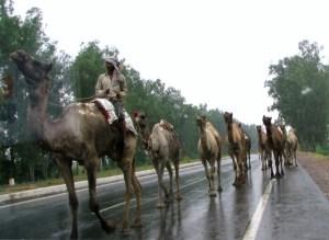 駱駝の隊列